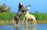 horses fighting in the water
