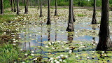 212503_download-wallpapers-water-lilies-in-the-swamp-1920-x-1080