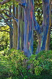 Rainbow Eucalyptus Forest, Philippines