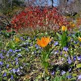 Flowers - Vinca Vine and Tulips