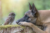 Shepherd dog and a litle owlet talking