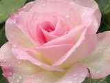 China Rose, in tender pastel pink colour, with dew, Rose Garden