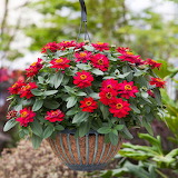 ^ Zinnia Profusion Double Hot Cherry