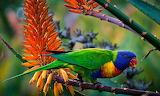 Rainbow-multi-color-parrot-