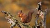 Highlands Red Squirrel