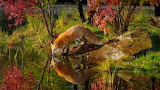 Fox in the nature
