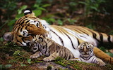A tigress with two cubs