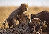 Cats - Cheetah and cubs