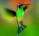 Hummingbird18