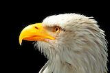 Bald Eagle for Chandra