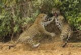 Battle of two leopards