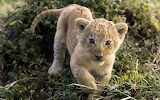 Baby-lion-animal-wild
