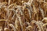 healthy food-wheat