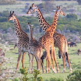 Masai Giraffe ~ Kenya