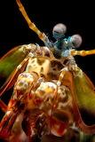 """Animals Science tumblr montereybayaquarium """"Peacock Mantis Shrim"""