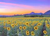 Sunset over a sunflower field