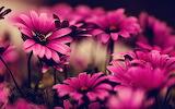 Pink-flower-wallpapers-desktop-For-Desktop-Wallpaper