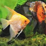 Beautiful angel fish!
