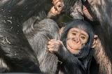Young Chimp Peeking
