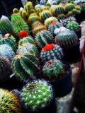 Cactus_by_putricahaya