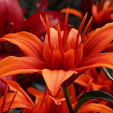 ^ Red Twin® Asiatic Lily