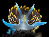 "Science tumblr myfrogcroaked ""Hermissenda opalescens"" Nudibranch"