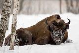 Bison en hiver