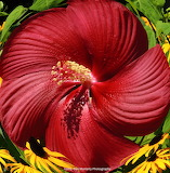Twisted Hibiscus