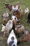 Besieged By Goats