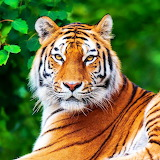 *Stunning Tiger...
