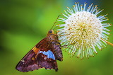 Moth on a pincushion flower