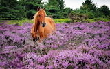 horse in a field of lavender