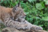 Lynx lynx 12