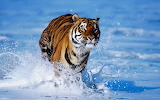 Tiger-running-water