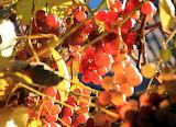 Słoneczne winogrona