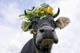 Pretty cow