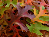 Colorful Oak Leaves