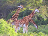 Rothschild Giraffe ~ Lake Nakuru