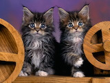 Maine Coon Kittens 1