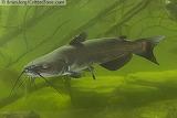 Channel catfish Missouri fish