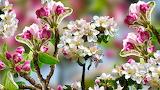 Flowers, Branch, Fruit tree, Apple