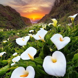 Calla Lily Grove, California...