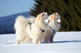 Perros de las nieves
