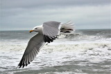 Seagull fly-by at Nags Head pier