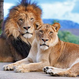 African Lions...