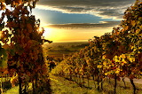 Wineyards kissed by the sun