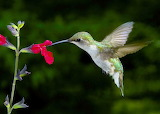HummingBirg-Feeding2