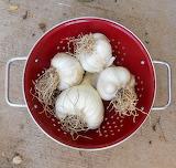 Alls - Garlic