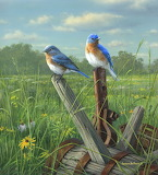 Prairie Bluebird Couple ~ Jim Hautman