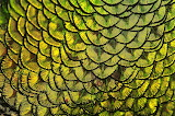 Peacock-feather-